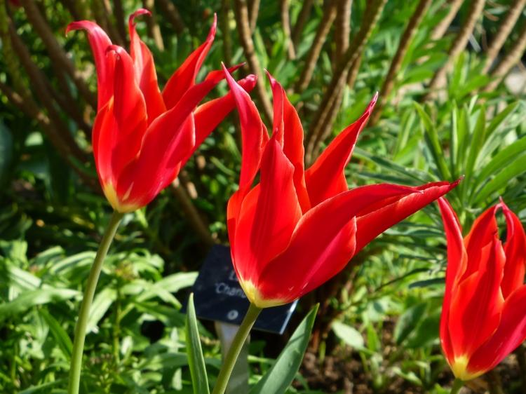 Tulip 'Aladdin'