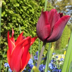 Tulips 'Aladdin' and 'Ronaldo'