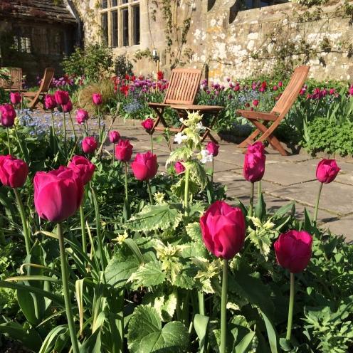 Tulip 'Attila' at Gravetye Manor