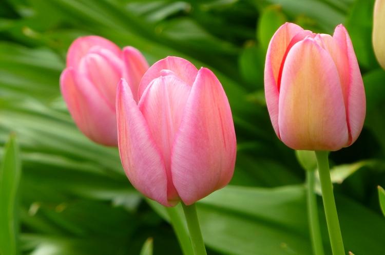 Tulip 'Clara Butt'