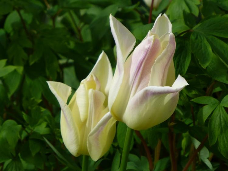 Tulip 'Elegant Lady'