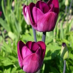 Tulip 'Greuze'