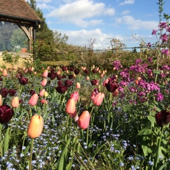 Tulips 'Menton' and 'Black Jack' at Gravetye Manor