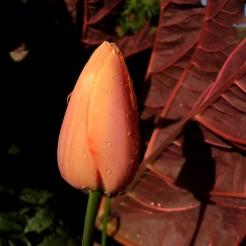 Tulip 'Menton'