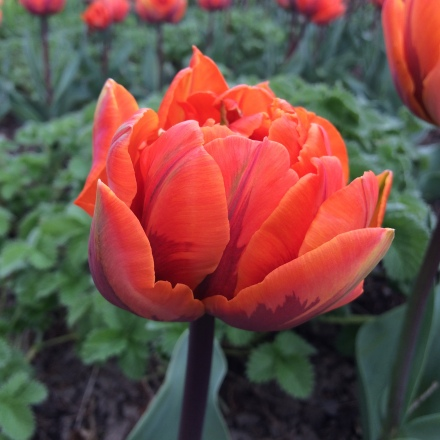 Tulip 'Orange Princess'