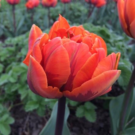 Tulip 'Orange Princess'