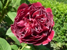 Rosa 'Baron Girod de lain'