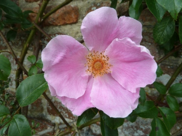 Rosa anemonoides