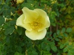 Rosa 'Cantabrigiensis'