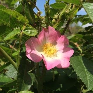 Rosa eglanteria (sweet briar rose)