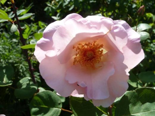 Rosa 'Ellen Willmott'