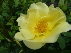 Rosa 'Golden Wings'