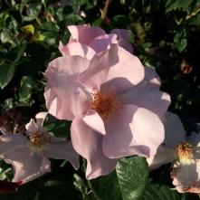 Rosa 'Lilac Charm'
