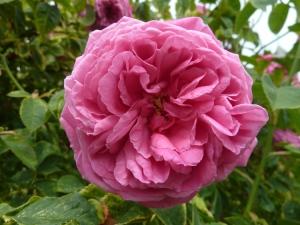 Rosa 'Paul Ricault'