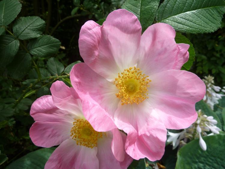 Rosa 'Paulii Rosea'