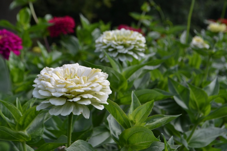 Zinnia 'Benary's Giant White'