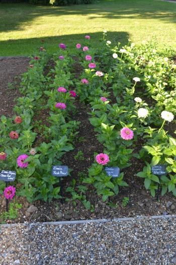 The zinnia trial bed