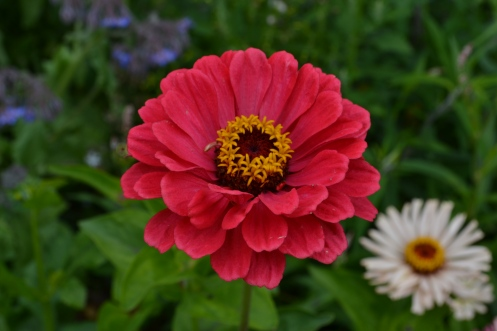 Zinnia 'Wine Bouquet'