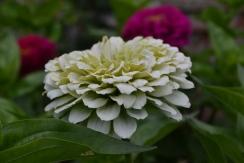 Zinnia 'Benary's Giant White'