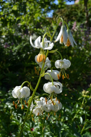 lilium-martigon-white-form