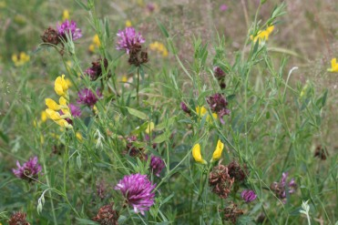 Birds Meadow Vetchling and Red Clover.