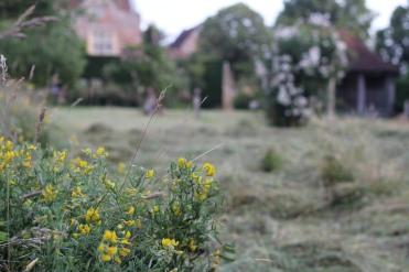 Meadow vetchling at Sissinghurst.