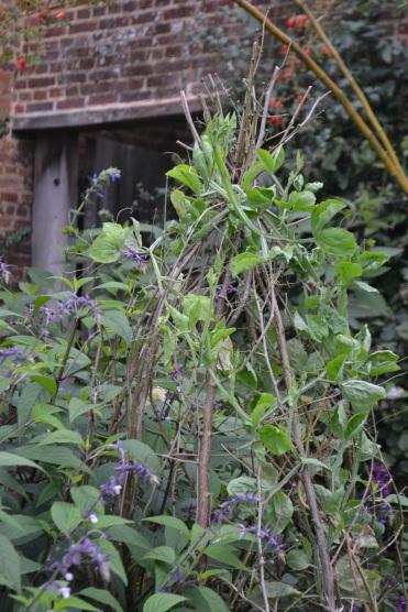 Late season planting of Sweet Pea 'Noel Sutton