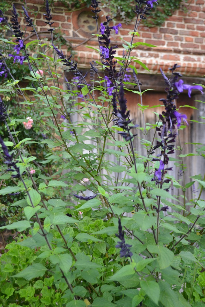 Salvia 'Amistad' with Pelargonium 'Lord Bute' planted in the Top Courtyard pots
