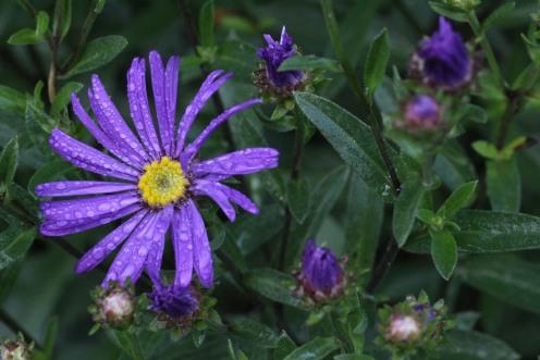 Aster amellus 'Violet Queen'
