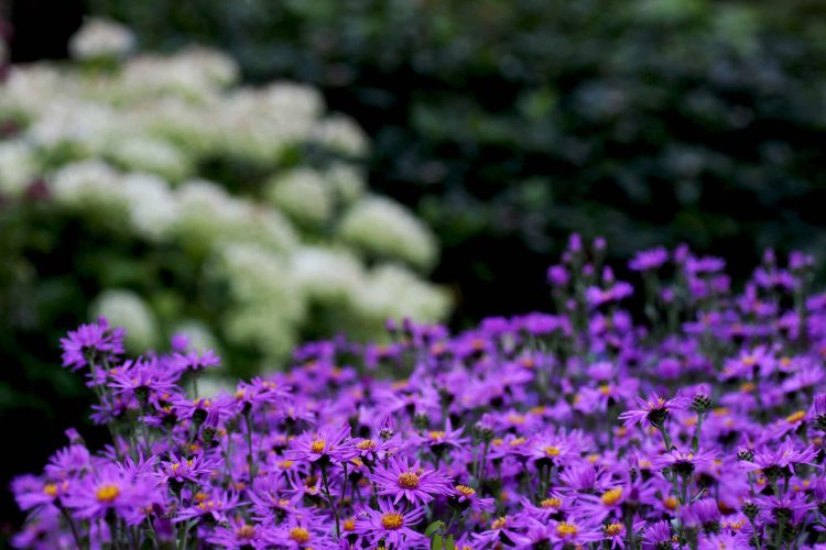 Aster and Hydrangea 'Anabelle' at Waterperry Garden