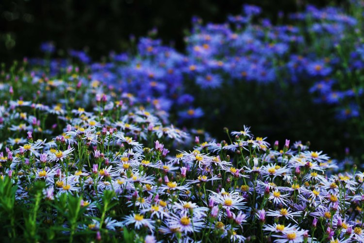 Asters at Waterperry Garden