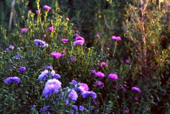 Asters at Waterperry Gardens