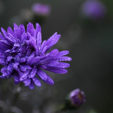 Aster 'Cliff Lewis'