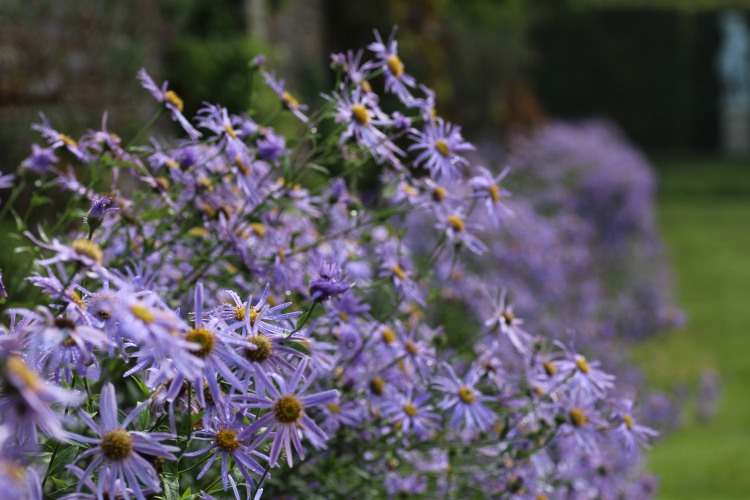 Aster x frikartii 'Monch' in the Moat Walk