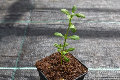Phyla young plant