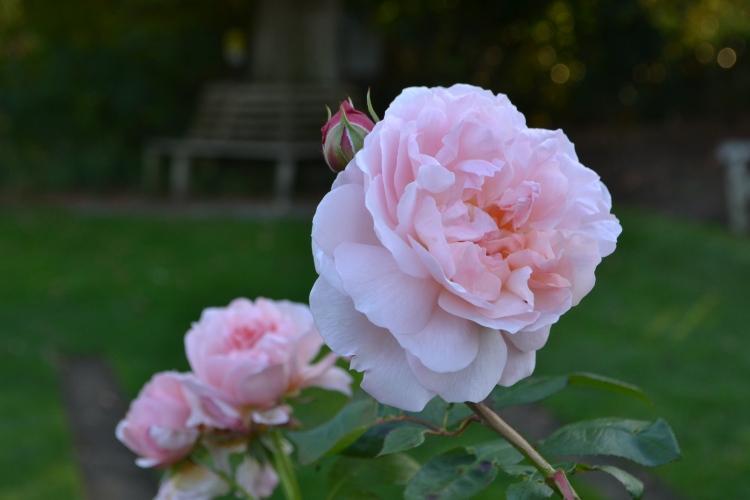 Rosa 'Eglantyne'