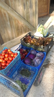 Seasonal produce for the restaurant; lettuce, tomatoes, fresh herbs, squash and cabbages