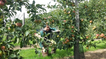 Lead Ranger Peter Dear carefully picks apples...