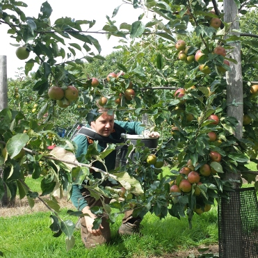 Lead Ranger Peter Dear carefully picks apples...