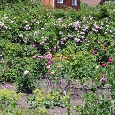 The roses in flower