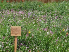The wild flower border