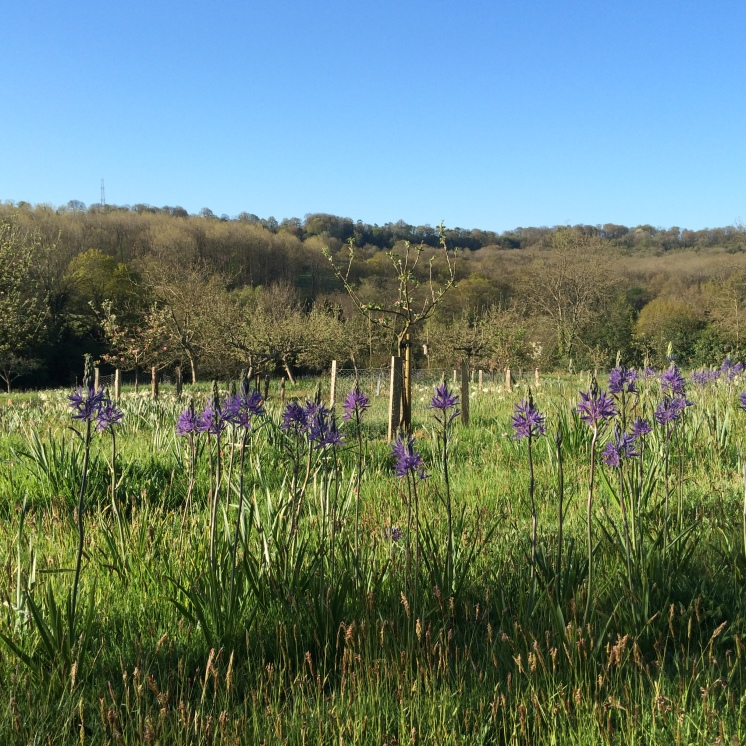 Camassias in the orchard