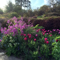 Tulips and Lunaria annua in the Flower Garden