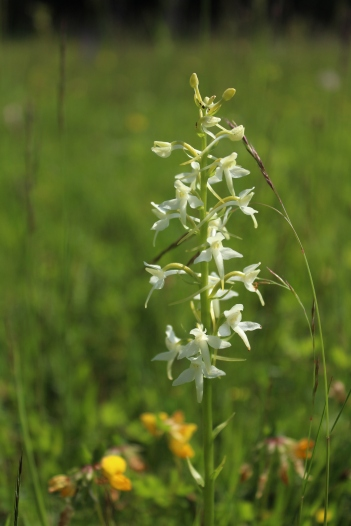 Butterfly orchid