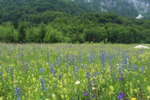 Echium meadows