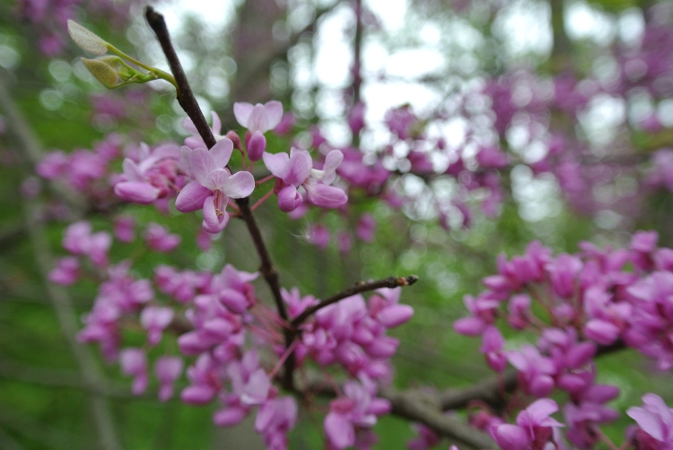 Redbud close up